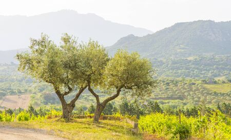 Green vineyard in the hills or the island of Sardinia in sunlight in spring Banco de Imagens
