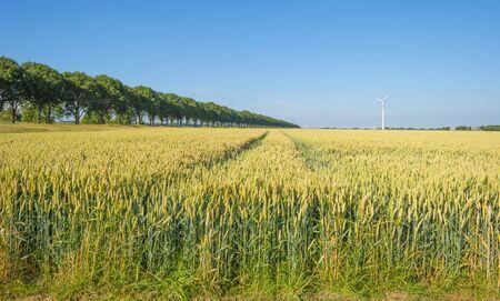 Field with a cereal grain below a blue sky in sunlight in summer