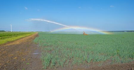 Rainbow in a field with vegetables irrigated by a traveling sprinkler in sunlight in summer