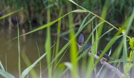 Swallows along the edge of a lake with drove in summer