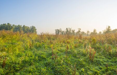 Misty field with flowers in wetland below a blue sky at sunrise in summer
