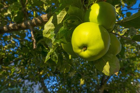 Apples in an apple tree in a garden below a blue sky in summer