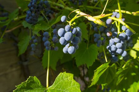 Vine with grapes in a garden in sunlight in summer