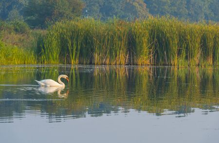 Swan swimming in a foggy lake below a blue sky at sunrise in summer