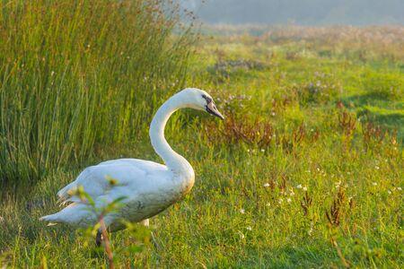 Swan in a field along a foggy lake below a blue sky at sunrise in summer Stock Photo