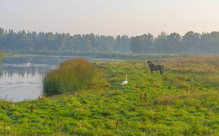 Swan and horse in a field along a foggy lake below a blue sky at sunrise in summer