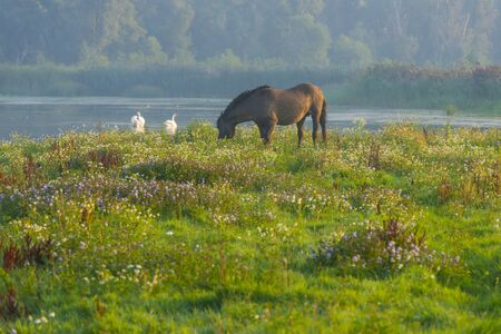 Horse in a field along a lake below a blue sky at sunrise in summer Stock Photo