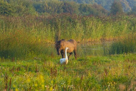 Swan and a horse in a field along a foggy lake below a blue sky at sunrise in summer