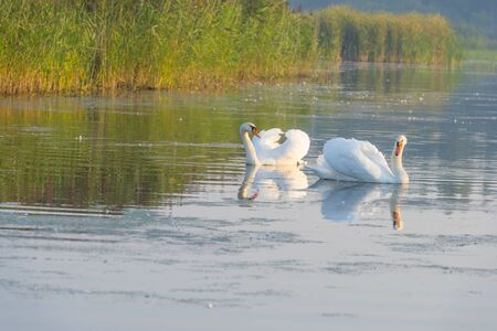 Swans swimming in a foggy lake below a blue sky at sunrise in summer