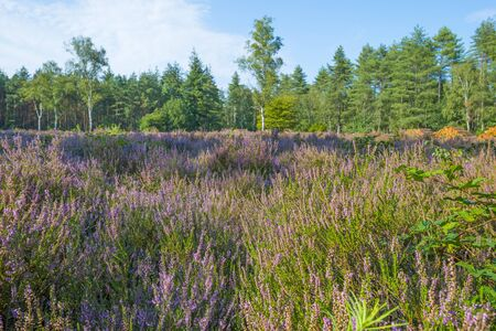 Blooming heather in a field in a forest below a blue cloudy sky in summer