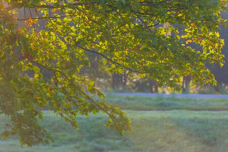 Foliage of deciduous trees in a foggy field in sunlight at sunrise in summer