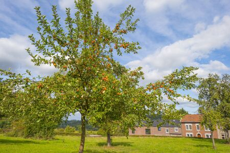 Apple trees in an orchard in a green meadow below a blue sky in sunlight in autumn