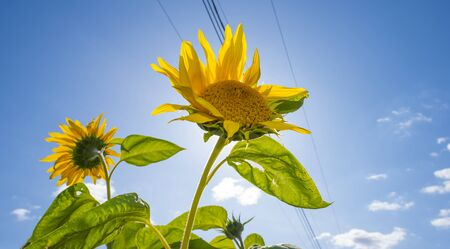 Sunflowers in a green grassy field below a blue cloudy sky in sunlight at fall Stock Photo