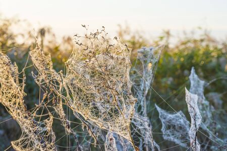 Drops of dew on a plant encapsulated by a spider web at sunrise in autumn