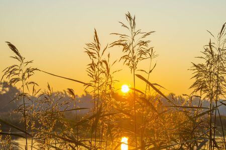 Reed along the edge of a lake in sunlight at sunrise in autumn