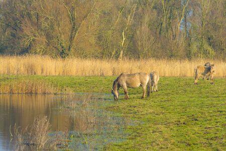 Horses along the edge of a lake in sunlight in winter in the natural park Oostvaardersplassen Imagens