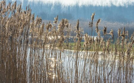 Reed along the edge of a lake in a natural park in sunlight in winter Stockfoto
