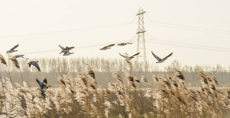 Flock or geese flying in formation in the sky or a natural park in winter
