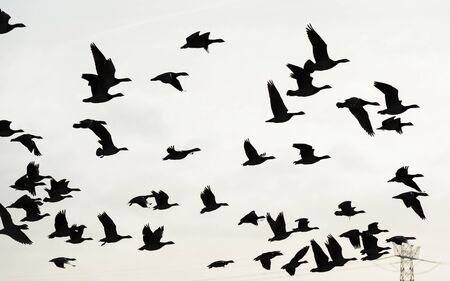 Flock or geese flying in formation in the sky or a natural park in winter Archivio Fotografico