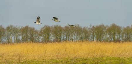 Flock or geese flying in formation in winter in the sky or a natural park,
