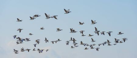 Flock of geese flying in the sky or a natural park in winter Stock fotó