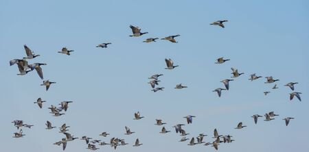 Flock of geese flying in the sky or a natural park in winter