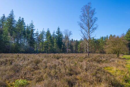 Heather in a field in a forest below a blue sky in sunlight in spring