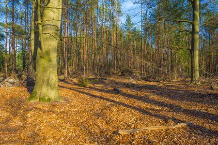 Beech trees in a forest below a blue sky in sunlight in spring