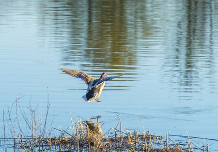 Duck flying over the shore of a lake in sunlight below a blue sky at sunrise in spring