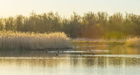 Reed along the edge of a lake below a blue sky in sunlight at sunrise in spring