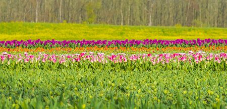 Tulips in an agricultural field in sunlight in spring,