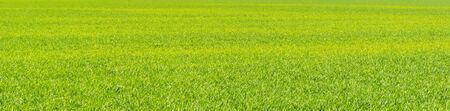 Pasture in sunlight as a bright green decorative background in spring Stock Photo