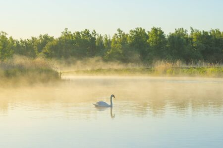 Swan swimming in a misty lake below a blue sky in sunlight at sunrise in a spring morning