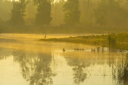 Geese and goslings swimming along the edge of a misty lake below a yellow blue sky in sunlight at foggy sunrise in a spring morning