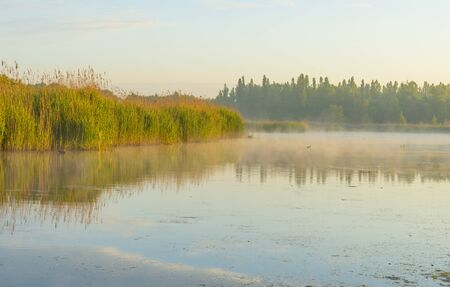 Reed along the edge of a misty lake below a blue yellow sky in sunlight at a yellow foggy sunrise in a spring morning Imagens