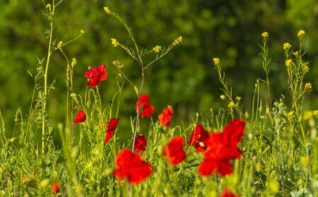 Wild flowers like red poppies in a grassy green field in sunlight at an early spring morning