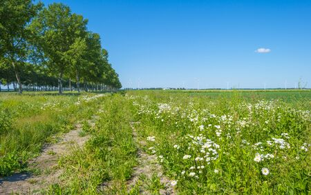 White wild flowers along an agricultural field below a blue sky in sunlight
