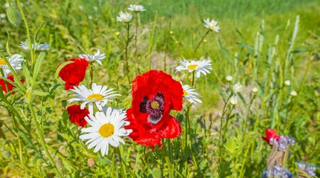 Wild flowers like red poppies in a grassy green field in sunlight in spring