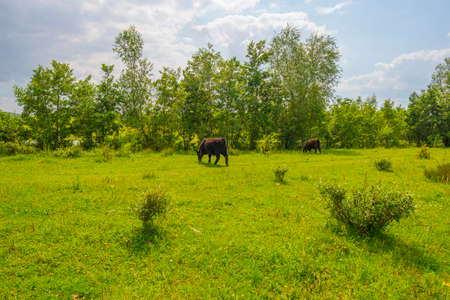 Cows in a green grassy meadow along the edge of a lake below a blue sky in sunlight in summer