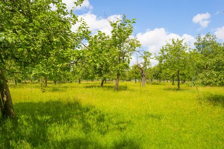 Apple trees in an orchard in a green meadow on the slope of a hill below a blue sky in sunlight in summer