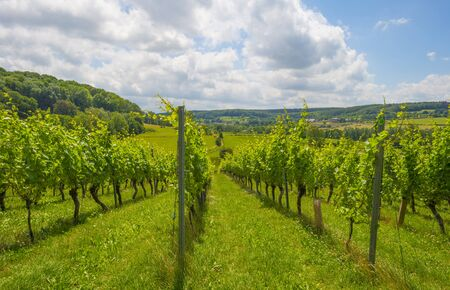 Vineyard on the slope of a green grassy hill in a valley below a blue sky in sunlight in summer