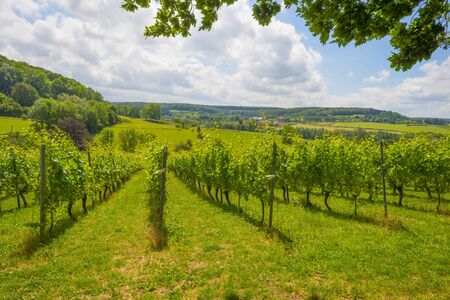 Vineyard on the slope of a green grassy hill in a valley below a blue sky in sunlight in summer Stock Photo