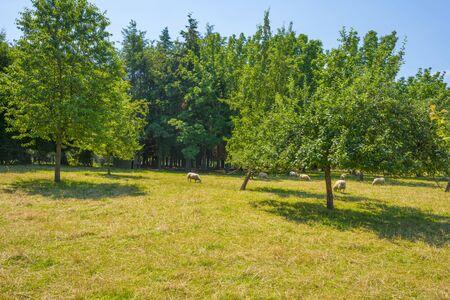 Herd of sheep in a green grassy meadow on the slope of a hill below a blue sky in sunlight in summer, Reklamní fotografie