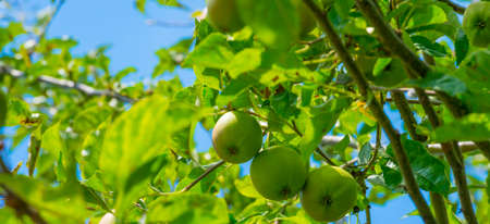 Apples in an apple tree cultivated in a garden in bright sunlight in summer