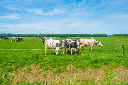 Herd of milch cows in a green grassy pasture below a blue cloudy sky in sunlight in summer, Almere, Flevoland, The Netherlands, July 7, 2020