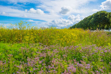 Lush green foliage and yellow and white wild flowers in a field below a blue cloudy sky in sunlight in summer, Almere, Flevoland, The Netherlands, July 22, 2020