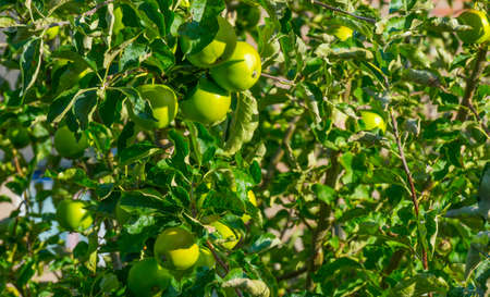 Apples in an apple tree cultivated in a garden in bright sunlight in summer, Almere, Flevoland, The Netherlands, July 22, 2020