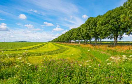 Double line of trees with a lush green foliage in a grassy green field with wild flowers along an agriculturale field in sunlight in summer, Almere, Flevoland, The Netherlands, July 22, 2020