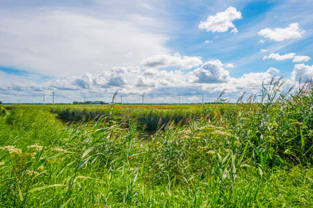The edge of a canal with reed along an agricultural field below a blue cloudy sky in sunlight in summer, Almere, Flevoland, The Netherlands, June 22, 2020