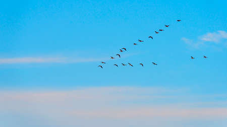 Flock of geese flying in a blue sky at sunrise in an early summer morning, Almere, Flevoland, The Netherlands Archivio Fotografico